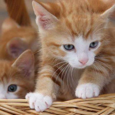 Weak as a Kitten